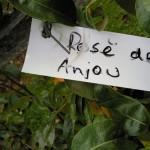 Pear name tag